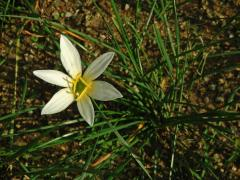 Zephyranthes Herb.