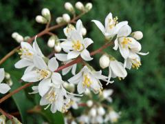 Trojpuk drsný (Deutzia scabra Thunb.)